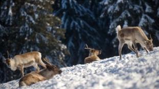 Élve temeti el az állatokat a szibériai hó