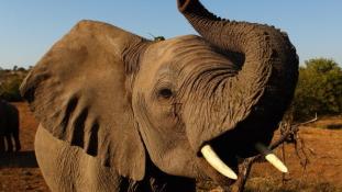 Elefánt tört össze egy autót Thaiföldön