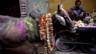 Tehénházasság és egyéb (szarvas)marhaságok Indiából