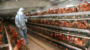 Kína óvatos: betiltotta az amerikai csirke behozatalát