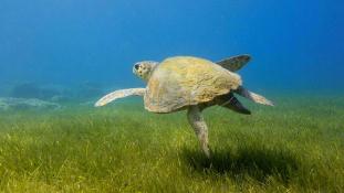 Török környezetvédők harca a teknősökért