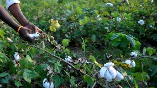 Sok gyapot, kis pénz Maliban