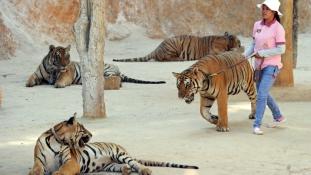 Menhely vagy turistavonzó kínzókamra a thaiföldi tigristemplom?