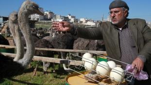 Ciszjordánia új specialitása: a strucc