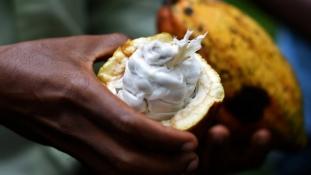Afrika negyedik kakaósánál baj van a minőséggel?
