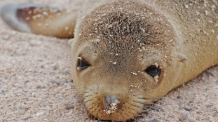 Partra vetett fókabébik Kalifornia partjainál