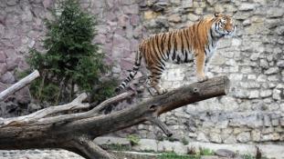 Tigrist kínált egy moszkvai étterem