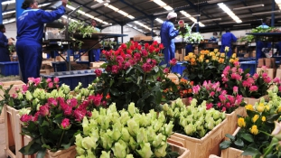 Kivirulhat a kenyai gazdaság