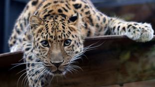 Így flörtölnek az Amuri leopárdok