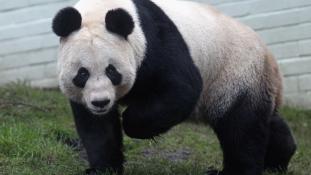 Pandaharapásért 83 ezer dollár fájdalomdíj