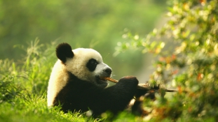 Egyre több a panda