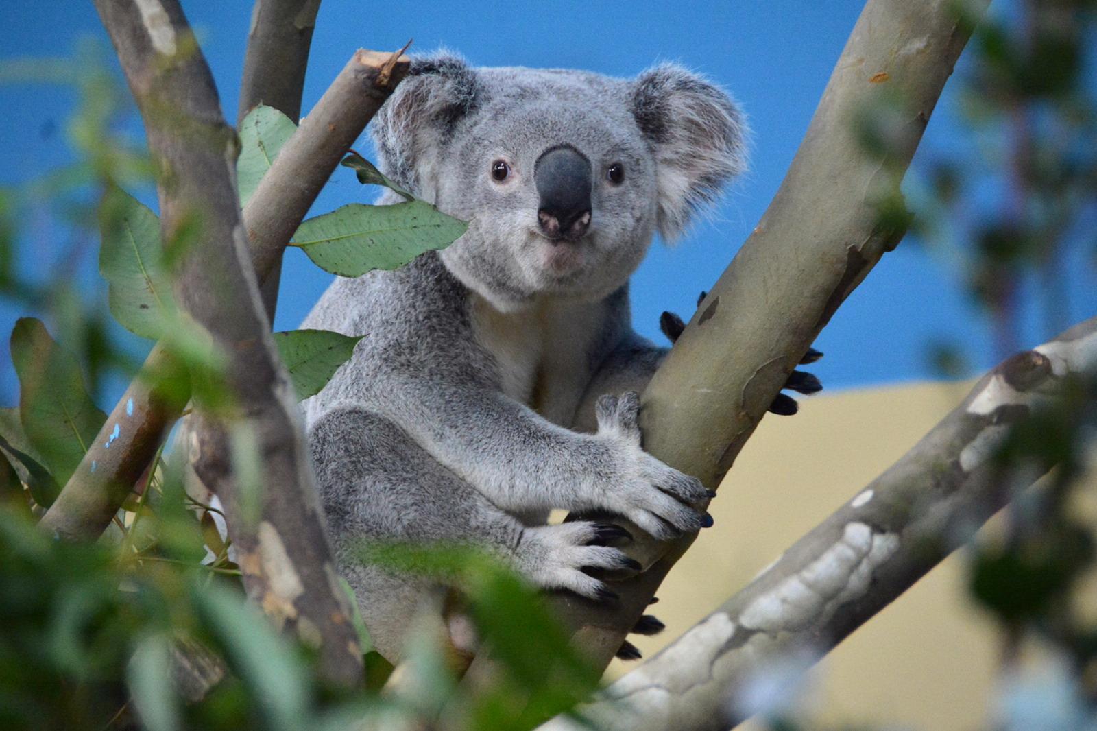 Koala1 (1)