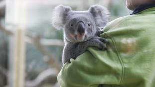 Koalák érkeztek a Fővárosi Állat- és Növénykertbe