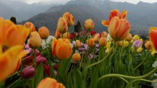 Tulipánkert az indiai Srinagarban