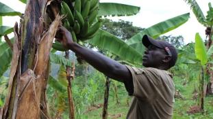 A világ nem vevő a háborús övezetben termett banánra?
