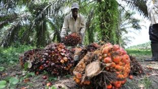 Kakaó vagy olajpálma?- ghánai dilemma