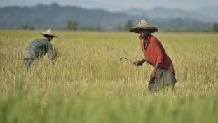 Középkori módszerek, középkori eredmények a mianmari rizsföldeken