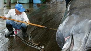 Japán a bálnavadászat újrakezdésében bízik-a Greenpeace meg a tilalomban