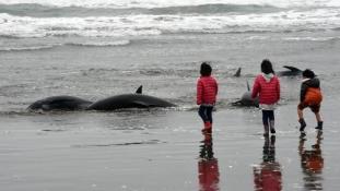 149 delfin sodródott partra Japánban