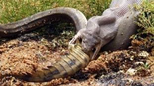 Döbbenetes röntgenfelvételek egy óriáskígyó emésztéséről