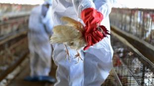 Mexikó egyre jobban fázik az USA-ban pusztító madárinfluenzától