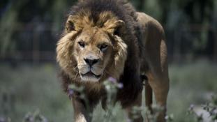 Agyonlőtték a gyilkos oroszlánt Kínában