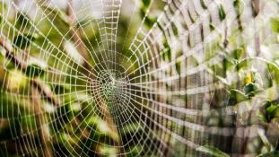 Szuperpókok szövik a világ legerősebb hálóját