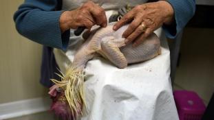 Megkopasztja az amerikai csirketenyésztőket a madárinfluenza