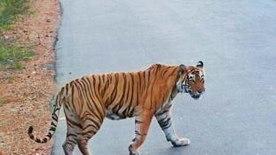 Ne építs utat a tigrisek földjén!