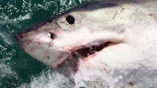 50 ezer cápát csonkítottak meg a nyerészkedő orvhalászok