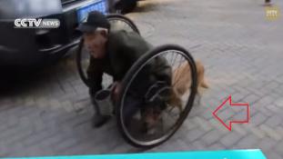 Amikor a kutya sétáltatja kerekesszékes gazdáját- videó a kutyahűségről