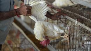 Kuba kitiltotta az amerikai csirkéket