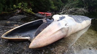 Rejtélyes cetpusztulás Chile partjainál