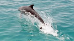 Vége az élő delfinek exportjának – kevesebb kedvencből lesz vacsora