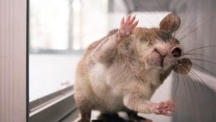 Erről álmodnak a patkányok