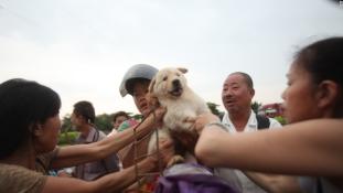 10 ezer kutyát vágtak le a kutyahús-fesztiválra