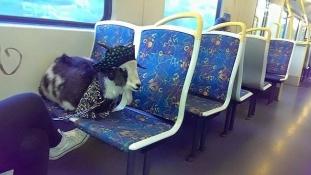 Szépen öltözött kecske utazott egy melbourne-i vonaton