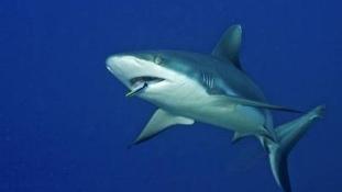 Újabb cápatámadás egy floridai strandon