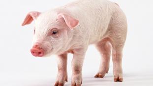 Oximoron a polcokon: halal disznót árultak Európában