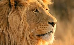 Elszabadult egy hím oroszlán Dél-Afrikában