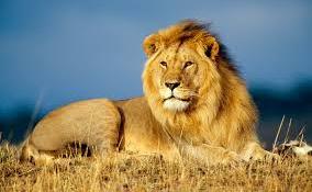 Újra oroszlánok bömbölése fogja felverni a ruandai szavannákat