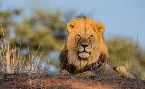 Szabadságot vett ki egy oroszlán Dél-Afrikában