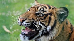 Amikor nem vicces utánozni a tigrisüvöltést
