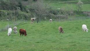Személyi azonosítót kaptak a marhák Uruguayban