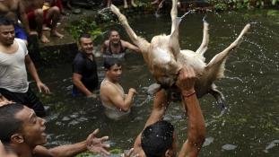 A vallási ünnep, amelyen élve tépnek szét egy kecskét