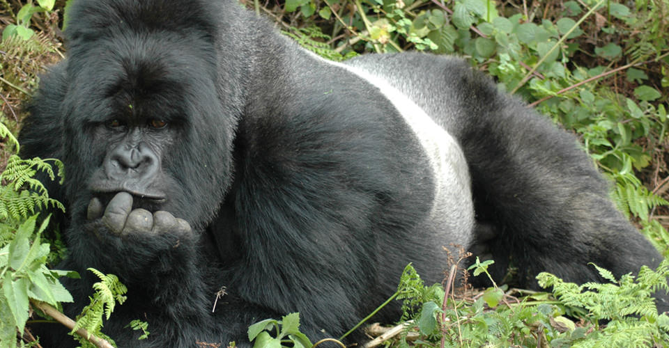 Ultimate-Gorilla-Photo-2-gorilla