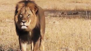 Össztűz az amerikai fogorvosra, aki megölte Zimbabwe kedvenc oroszlánját
