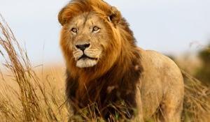 Megölték Zimbabwe leghíresebb oroszlánját