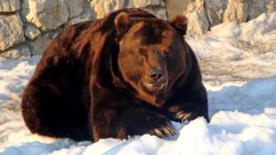 Medve támadt egy turistára
