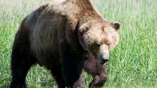Így növelhető a medvével a libidó?